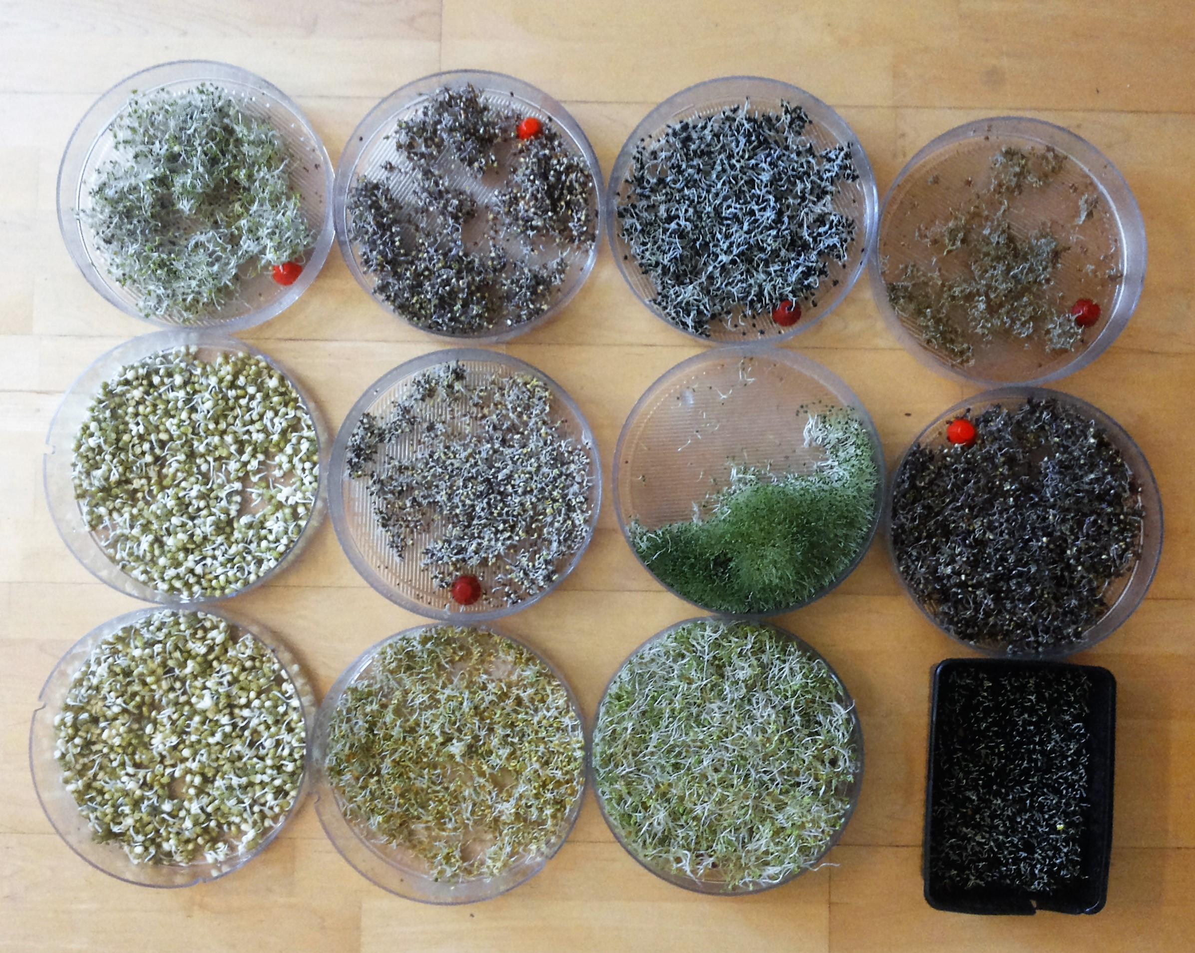 Sprossen und Grünkraut von Alfalfa, Mungobohnen, Rotkohl, Kohlrabi. Zwiebel, Knoblacuh, Kresse, Chia, Karotten